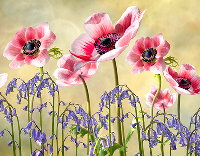 Red Anemones and Bluebells