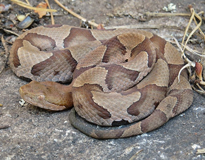 Copperheads - Venomous Snakes in North America
