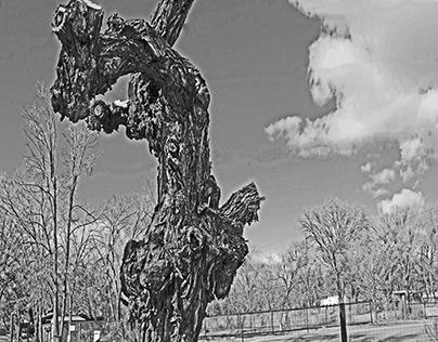 Death of a Bosque Cottonwood