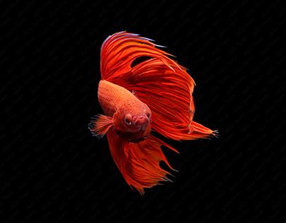 Red Siamese fighting fish or Betta splendens fancy fish
