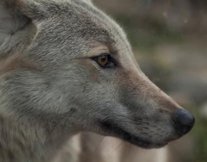 Wolves, Belgrade zoo, novembar 2017