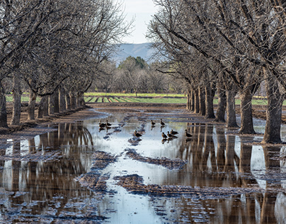 Pecan Orchard with Ducks