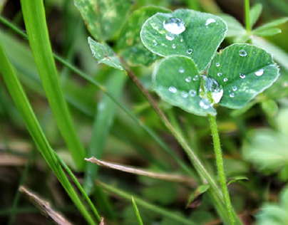 Water drops on a clover