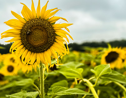 Beautiful sunflower bloomed on a rainy day.