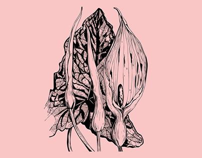 Arum lily. Illustration