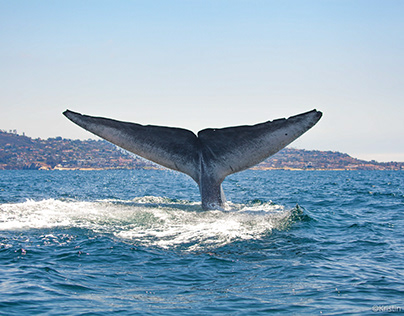 Fluking Blue Whale