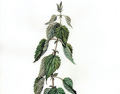 Illustrazione Scientifica Botanica