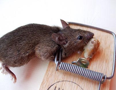 سم الفئران لمكافحة الفئران