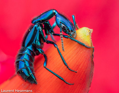 Rove beetle on ginger flower