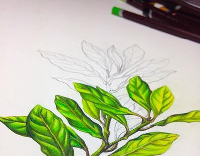 Botanic style Drawings