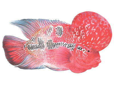 Flowerhorn Cichlid fish for Esquire UK