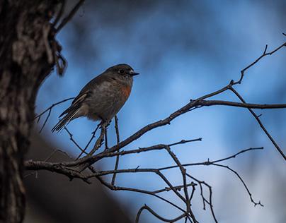 Female Scarlet Robin in the bush.
