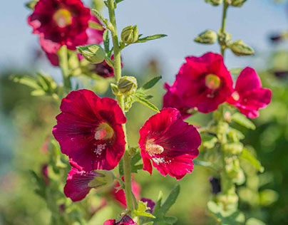 Happy Hollyhocks