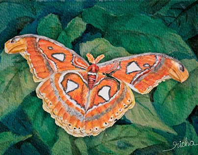 A Wonder called Atlas Moth