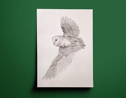 Bird study – barn owl