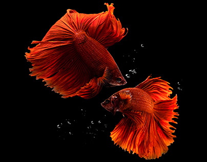 FULL MOON RED BETTA FISH | Fighter fish | Photography