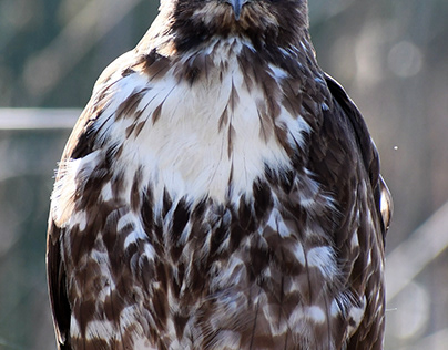 Hawk (red tailed ?)