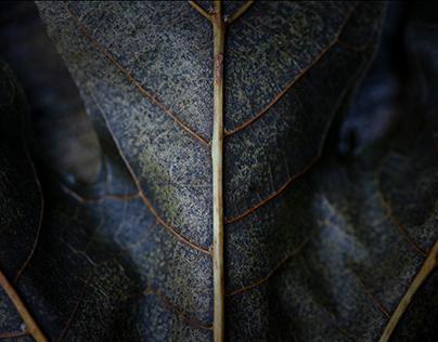 Leaf Mid-Rib