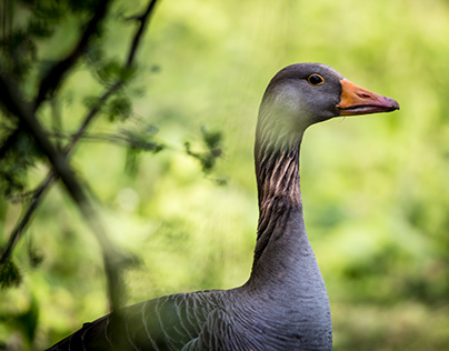 Geese in colour