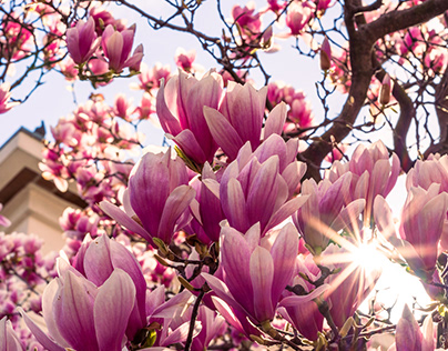 Magnolias and the city