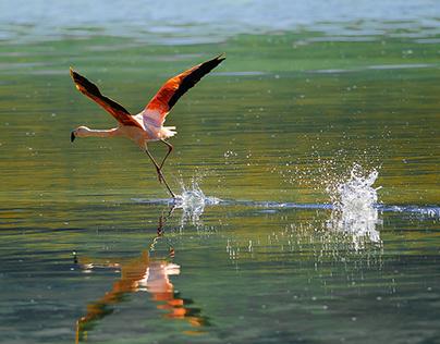 Flamingos Atacama