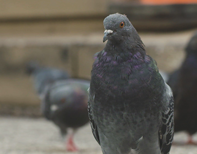 On the Color and Character of the Common Pigeon