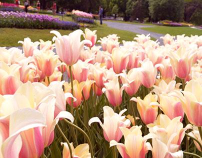 Tulip Festival at Washington Park