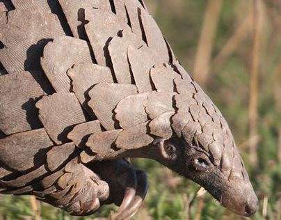 Pangolins: The Most Trafficked Mammal You've Never Hear
