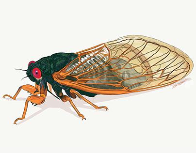 Myra's Cicada