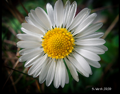 Daisy blossom in Northern Berlin