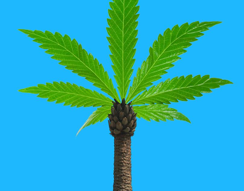 Марихуаны пальмы наркотест марихуану обмануть на