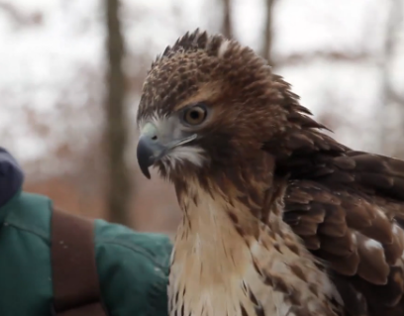 Portrait of a Falconer | video project