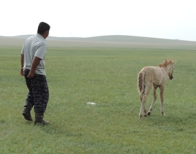 The Rescue of a Mongolian Colt