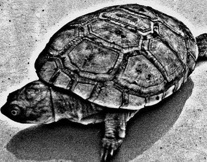Tortue BlackJack