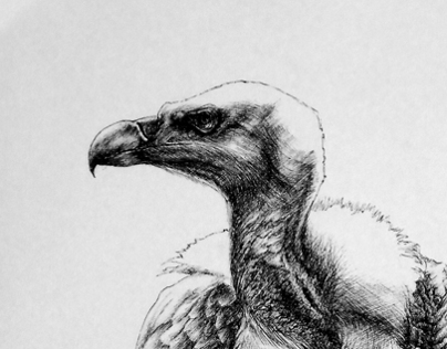 Black Pen Vulture
