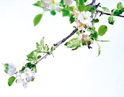 Whiteout (apple blossoms)