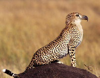 Eagle Cheetah