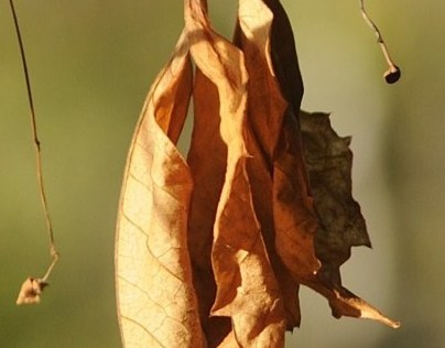 Leaf as art