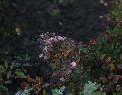 roses inbedded in web