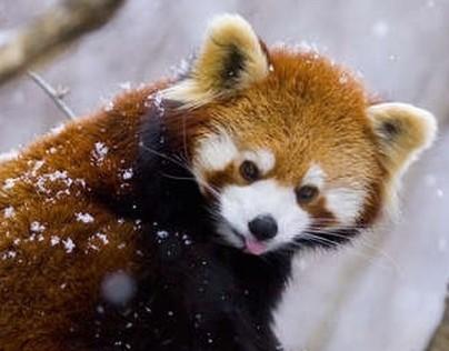 Red Panda Zoobook