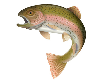 Detailed vector illustration of a Rainbow Trout