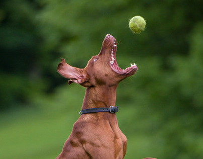 VISZLA DOG CHAMP CATCHES BALL