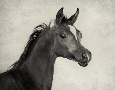 Arabian Horses II