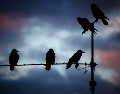 Crows in the dusk