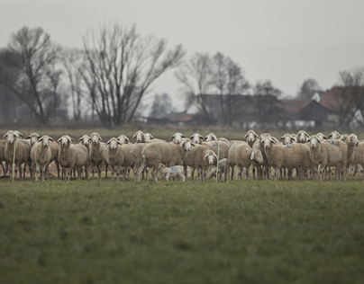 Sheepscapes