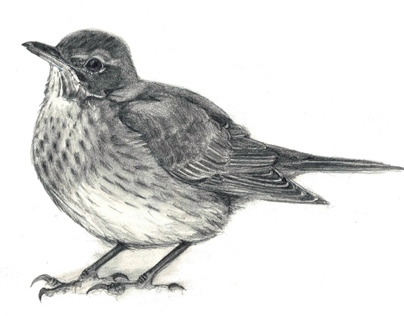 Birds in Pencil