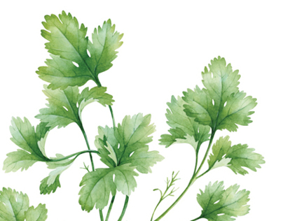 watercolor basil & coriander