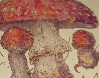 Amantia Muscaria project.