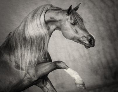 Arabian Horses - Bashir al Shaqab