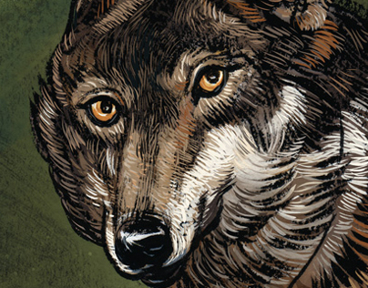 The Iberian Wolf